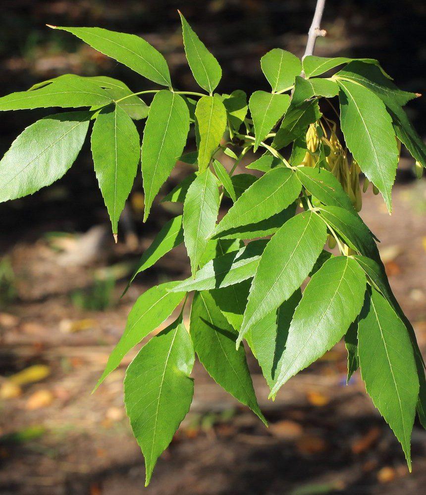 Ash Wood Leaf
